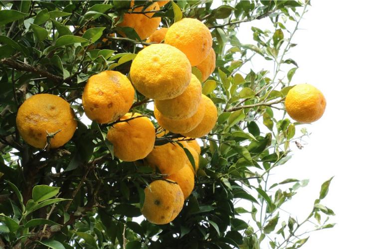 高知県,柑橘系,果物